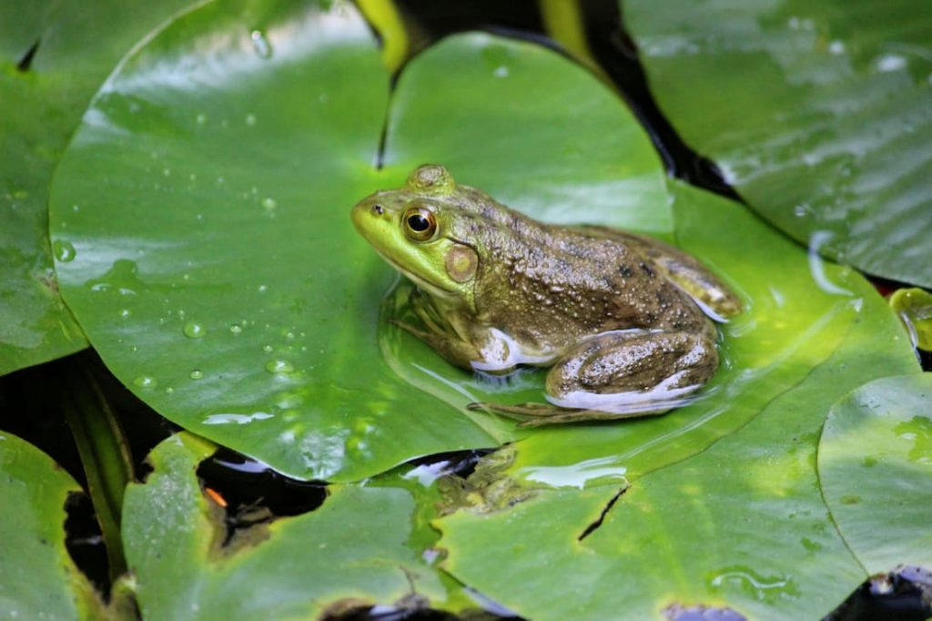 Frog on top of a lily pad.